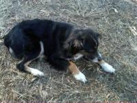 Female Mini Aussie, GREAT with kids and other animals
