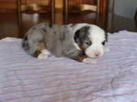 Registered Mini Australian Shepherd Puppies. Puppies