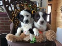 We have beautiful miniature Australian Shepherd puppies