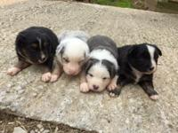 **Four CKC Mini Australian Shepherd Puppies** One black