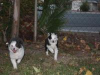 iI have 2 mini Australian shepherd 1 male and 1 female