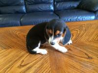 I have 2 mini beagle puppies. They are all tri-colors.