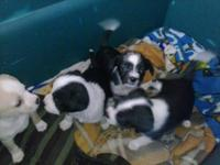 Mini Border Collie puppies. Super personalities. Black
