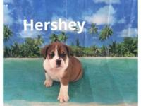 Hershey is a cute and playful 3/4 bulldog 1/4 beagle