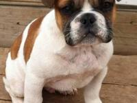 SMALL Miniature Bulldog very cute male puppy, available