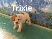 Trixie is a cute and playful 3/4 bulldog 1/4 beagle