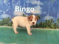 Bingo is a cute and playful 3/4 bulldog 1/4 beagle