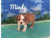 Mindy is a cute and playful 3/4 bulldog 1/4 beagle