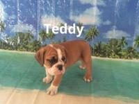 Teddy is a cute and playful 3/4 bulldog 1/4 beagle