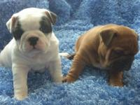 Beautiful mini bulls available, two litters ready In