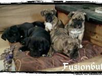 We have 5 Awesome Minibulldog (minibullz) puppies