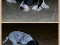 Male mini piebald dachshund 400 and female harsh