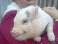 Cute little 3 month old mini pot belly pigs they should