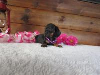Mini Dachshund born on Nov 7th. CKC registered Current