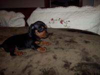 Rainy is black & tan in color, she will be very small