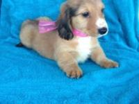 AKC registered female dachshund. 600.00. Comes with