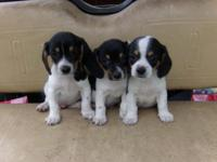 Beagle Mini Dachshund Mix Puppies. 3 males, all are