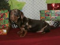 Smooth Coat - Mini Dachshund pup. 5 months old. Shy