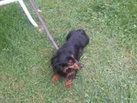 Black and tan long hair 4 year old female needs home or