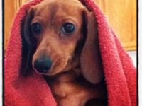 Ruby is a mini dachshund that will be two on June 10.
