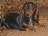 Color: Black/Tan with a mix of piebald on his chest