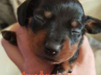 Adorable black and vivid red male puppy born on