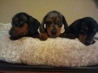 Registered mini dachshund puppies for sale. Puppies