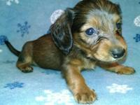 AKC MINI DACHSHUND PUPPIES 4 weeks old Accepting