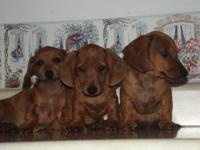 2 gorgeous dark red pups, both are males, 10 wks old. 2