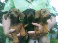 mini dachshund puppies, Red Girl and black and Tan
