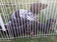 I have 3 male dachshund puppies available for their