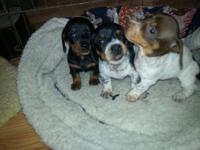 I have three beautiful puppies available Black and tan