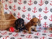 MINI DACHSHUND Puppies: male and female available - Had