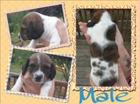 Mini Dachshund male puppies. We have 4 males available