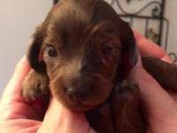 Dapple longhair puppies in chocolate and Isabella males