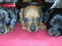 Adorable mini dachshunds 5 left to choose from. Parents