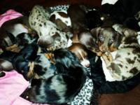 I will have 2 litters of mini dachshund puppies due in