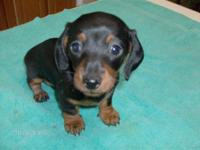 Mini Dachshund pups. Absolutely adorable. Both parents