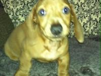 Beautiful smooth coat, Isabella Fawn male 9 wks. Has