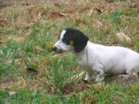 Dachshund For Sale In Tennessee Classifieds Buy And Sell In