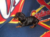 Adorable black n tan Mini Dachshund puppy up to date on