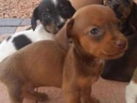 READY FOR NEW FOREVER HOME! Male Chocolate/Tan DOB July