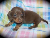 CKC registered Mini Dachshund puppies. They will be