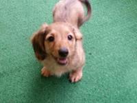REDUCED!! Sweet gorgeous tan mini dachshund. Long