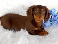 10 week old male Mini Dachshund puppy. He is a gorgeous