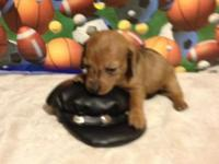 We have mini dachshund puppy's, some brief coats and