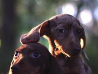 AKC Mini Doxies 9 weeks old Beautiful Healthy pups. 3