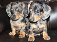Gorgeous Mini Dachshund Puppies Ready April 15th at 8