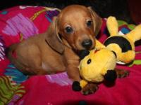 Miniature Dachshunds Puppy - Health & Disposition is
