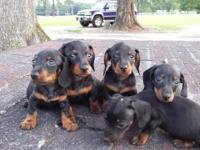 Mini dachshunds 5 black and tan males. All shots and